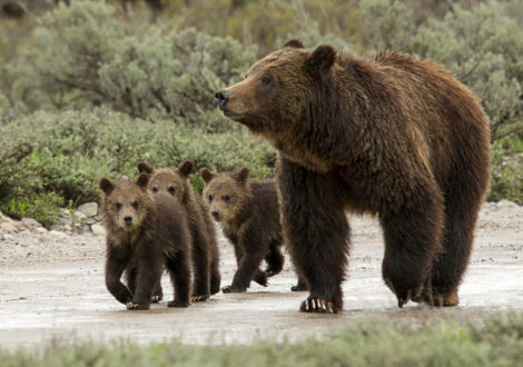 Kent Nelson Grizzly Bear 399 and cubs