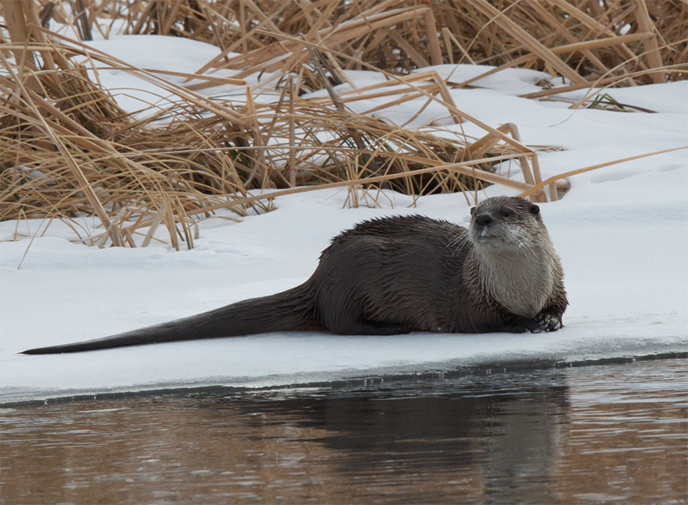 River Otter by Kent Nelson