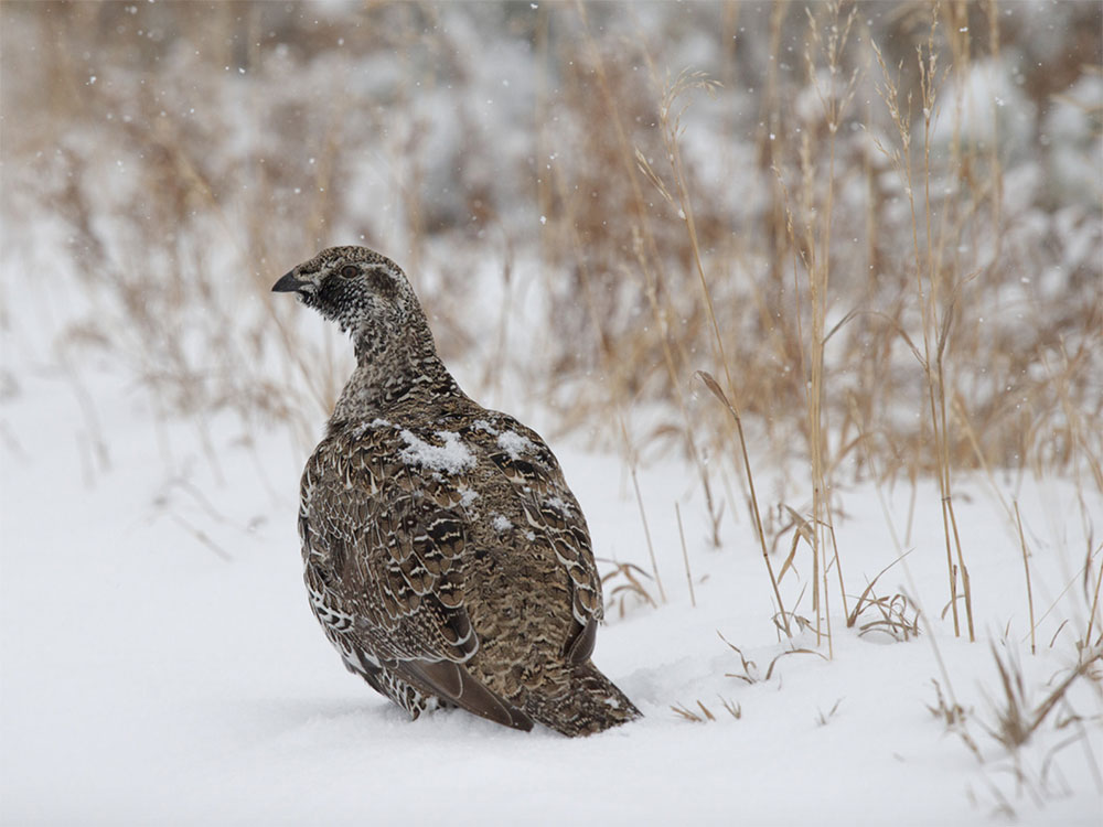 Sage Grouse by Kent Nelson