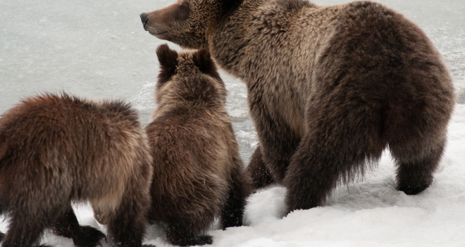 """State grizzly plans """"intentionally managing for a decline"""""""