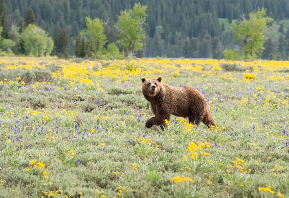 Grizzly Delisting Delayed!