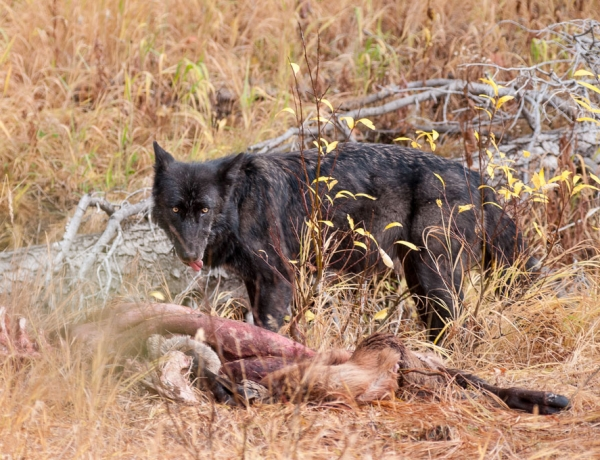 Ruling on wolf delisting praised, condemned