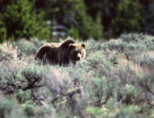 Yellowstone National Park Lone Dissenter To Plan For Managing Grizzly Bears If They Are Delisted From ESA